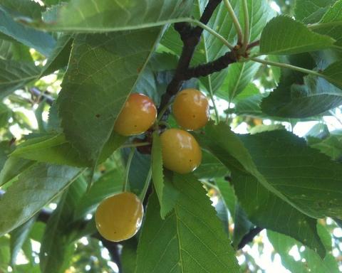 Yellow cherries on the tree.